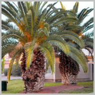 date-palms