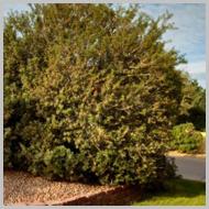 mastic-tree