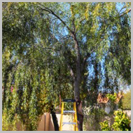 willow-acacia-trees
