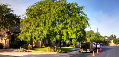 chinese-elm-001