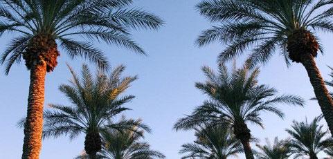 date-palms-image