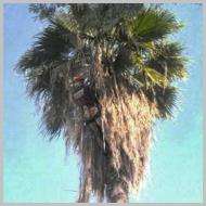fan-palms