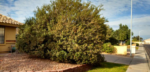 mastic-tree-001