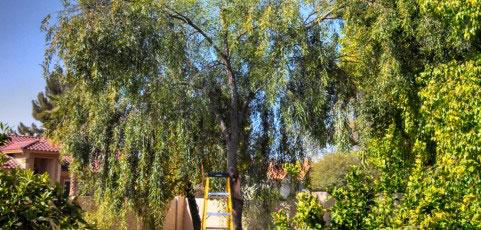 willow-acacia-image